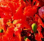 Poinciana flowers 2 Royalty Free Stock Photography