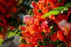 Poinciana flowers 4. The Royal Poinciana, or Flamboyant, is an extravagantly colored tropical tree.  A distintive characteristic is that one petal of each flower Stock Photography