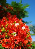 Poinciana flowers. The Royal Poinciana, or Flamboyant, is an extravagantly colored tropical tree. A distintive characteristic is that one petal of each flower is royalty free stock image