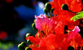 Poinciana flowers. The Royal Poinciana, or Flamboyant, is an extravagantly colored tropical tree. A distintive characteristic is that one petal of each flower is stock photo