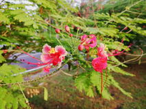 Poinciana, peacock flower, or Caesalpinia pulcherrima Royalty Free Stock Photo