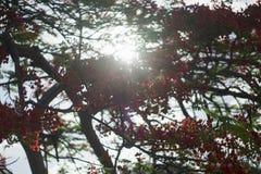 Poinciana, Pfaublume, Gulmohar-Blume mit Sonnenstrahl und Unschärfehintergrund Lizenzfreie Stockfotos