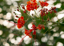 Poinciana real Imagem de Stock Royalty Free