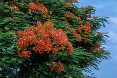 Poinciana& real bonito x27; flower& x28 de s; ou flower& x29 de Phoenix; Foto de Stock Royalty Free