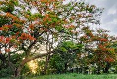 Poinciana royal et coucher du soleil Images stock