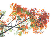 Poinciana royal a isolé Images stock