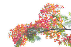 Poinciana royal a isolé photo libre de droits