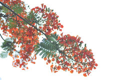 Poinciana royal a isolé photo stock