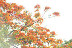 Poinciana royal a isolé images libres de droits