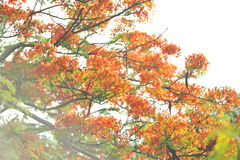 Poinciana royal a isolé photographie stock