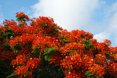 Poinciana tree Stock Image