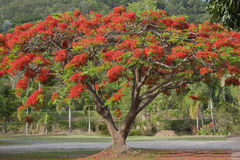 Poinciana tree Royaltyfri Fotografi
