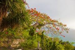 Poinciana tree Royalty Free Stock Photo