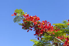 Poinciana Tree Flowers Royalty Free Stock Images