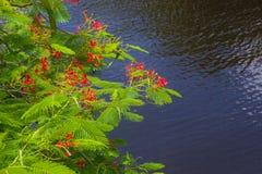 Poinciana tree Royalty Free Stock Images