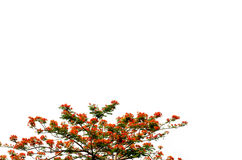 poincianakunglig persontree Arkivbilder