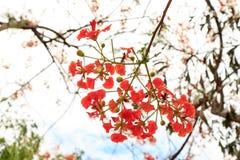 poincianakunglig persontree Royaltyfri Bild