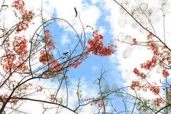 poincianakunglig persontree Arkivfoto