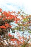 poincianakunglig persontree Royaltyfri Fotografi