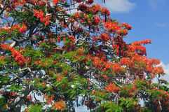 poincianakunglig persontree Royaltyfri Foto
