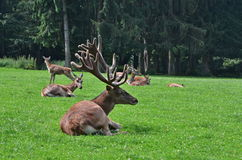 Poing-cerfs communs de Wildpark Photos libres de droits