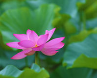 Poink Lotus flower Royalty Free Stock Images