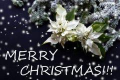 Poinsétia branca mais baixo com árvore e neve de abeto no fundo escuro Cartão de Natal dos cumprimentos postcard christmastime Br fotografia de stock royalty free