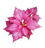 Poinsétia cor-de-rosa Imagem de Stock
