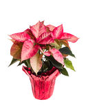 Poinsétia cor-de-rosa isolada no branco Imagens de Stock Royalty Free