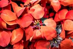 Poinsétia da flor do Natal de Rred Imagens de Stock Royalty Free