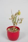 Poinsétia secada Imagem de Stock