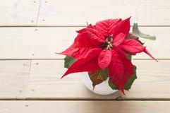 Poinsétia vermelha Foto de Stock Royalty Free