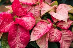 Poinsétias vermelhas e brancas Variegated Fotos de Stock