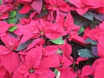 Poinseci czerwona ornamentacyjna roślina Zdjęcia Royalty Free