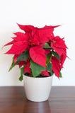 Poinseci roślina Fotografia Stock