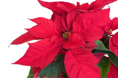 Poinseci roślina Obraz Royalty Free