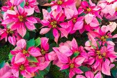Poinsecj euforbii boże narodzenia lub pulcherrima kwitniemy w wierzchołku v zdjęcie royalty free