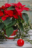 Poinsecja kwiat (euforbii pulcherrima) Fotografia Royalty Free