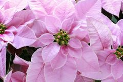 Poinsecja kwiatu euforbii pulcherrima obrazy stock