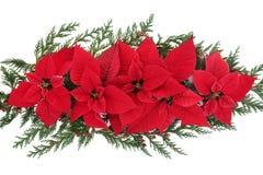 Poinsecja kwiatu pokaz Obraz Stock