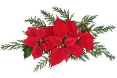 Poinsecja kwiaty Obraz Royalty Free