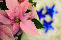 Poinsecja różowy kwiat… Obrazy Stock