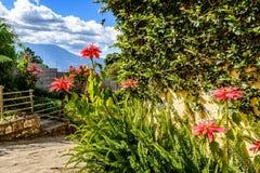 Poinsecje, paprocie & wulkan, Gwatemala Zdjęcie Royalty Free