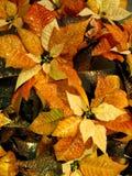 Poinsetia de cobre Imagenes de archivo