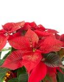 Poinsetia de la Navidad Foto de archivo libre de regalías
