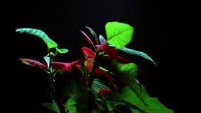 Poinsetia de la planta de la Navidad almacen de video