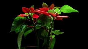 Poinsetia de la planta de la Navidad