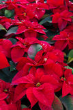 Poinsetia flowers Stock Photography