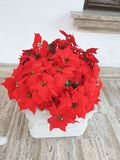 Poinsetia - roja, flores del beutifull imágenes de archivo libres de regalías
