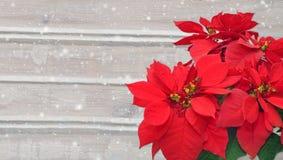 Poinsetia y nieve Flor de la Navidad en fondo de madera Imagen de archivo